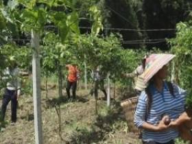 甲茶镇甲茶村6000吨百香果陆续上市,产值5000万元左右