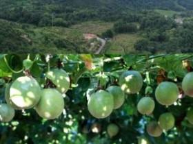 肖家镇百香果种植成为致富好门路