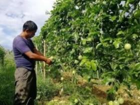 陆川平乐镇百香果种植成为村民致富的黄金果