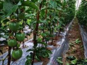 江华县大圩镇文明村大力发展百香果产业,铺就脱贫致富路