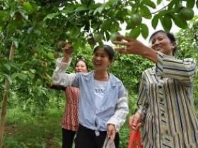 自贡荣县新桥镇圭山寺村,贫困村7万斤果子迎销售季
