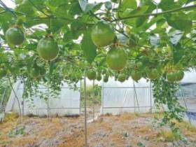 黄平千亩百香果陆续上市
