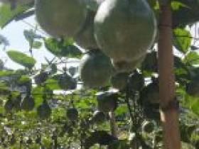 武平今年首批百香果丰收抢鲜上市