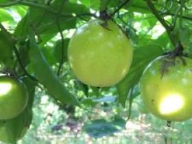 北流清湾镇凤塘村创建基地,带动贫困户种植百香果
