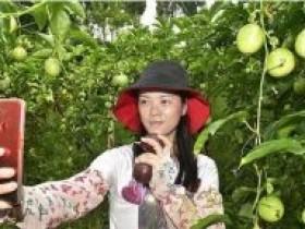 椑木镇龙湾创业返乡夫妻的百香果事业