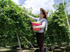 龙圩区百香果丰收,产量1860吨产值1116万元