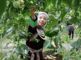 黄金百香果丰产助广西梧州农民增收