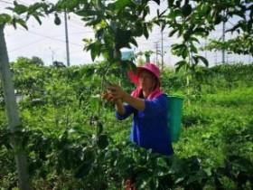 义龙新区2400余亩百香果喜获丰收产销两旺