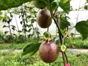 黔西县五里乡1000多亩百香果成熟上市,香飘千里