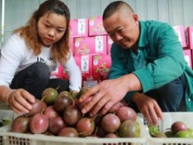 贵州黔西百香果产业助农增收奔小康