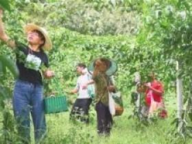 平塘县1.2万亩百香果迎来盛产期
