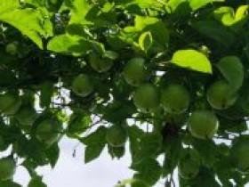 浙江慈溪帮扶安龙打造贵州省百香果产业的金名片