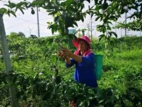 千里飘香产销两旺,义龙新区2400亩百香果大丰收