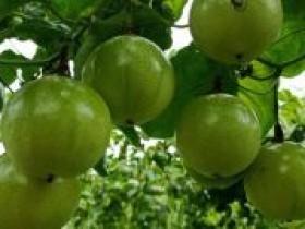 从江万亩百香果变成致富果