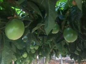 海南省保亭百香果种植服务需求调研助力脱贫攻坚