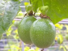 新品种红粉佳人百香果,迎来首次挂果