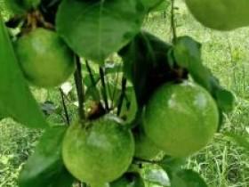 为何百香果种植行业的造富神话越来越少了