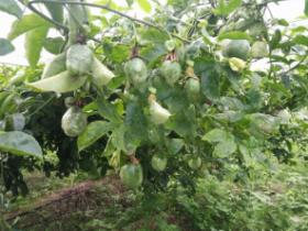 云南德宏的种植户,隔壁百香果园有病毒病怎么办