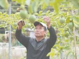 福安市溪尾镇茶洋村,百香果扶贫新产业养成记