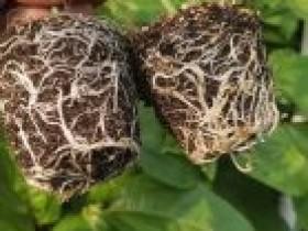 百香果春季栽培管理技术要点