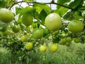 百香果园该如何防治土传病害