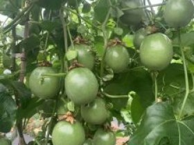 平塘甲茶村大力发展百香果产业