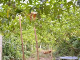 百香果用竹子怎么搭架