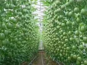 百香果种植的两大创新趋势,万斤亩产不是梦