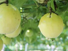 百香果缺钙的症状有哪些