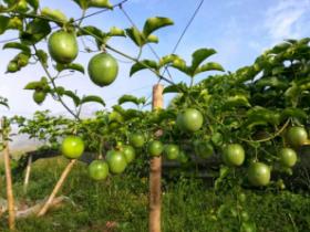 百香果芸苔素+吡唑+磷二使用方法