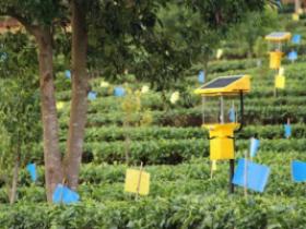 百香果用黄板蓝板物理防虫措施多,用好粘板显效果