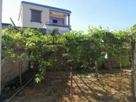 海南反季节种植大黄金百香果优势明显