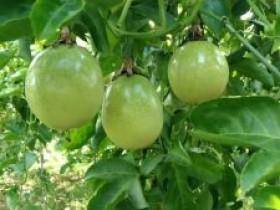 陆川做强特色产业促群众增种下百香果摘下穷帽子
