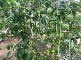茂名市试图壮大百香果种植