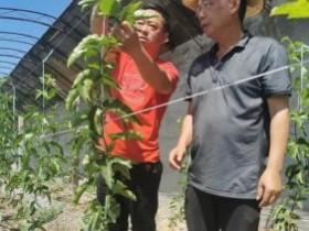 莆田农业援玛纳斯百香果提早两个月结果