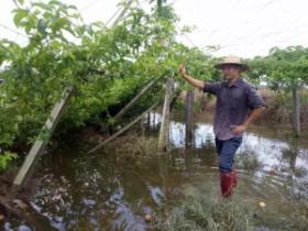 天鸽肆虐高州一果园损失惨重4万斤百香果被浸泡