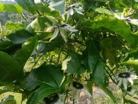 新宠高品质黄金百香果壮乡蜜宝陆川引进种植成功