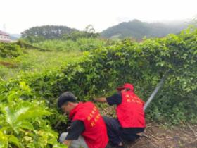 爱店镇人民政府组织志愿者帮果农抢收百香果