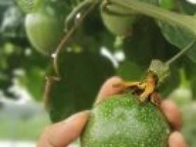 广西北海种植百香果带富众乡亲
