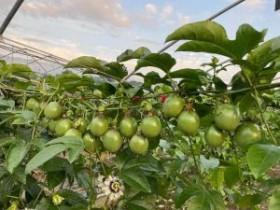 贵港市百香果种植面积近8万亩