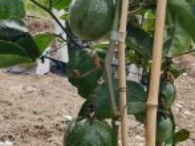 在北流栽培成功百香果鸳鸯蜜首摘上市