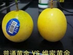 维蜜黄金百香果品种特性介绍