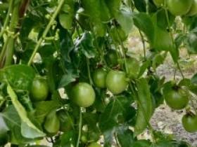 贵港市农科院百香果种植基地考察