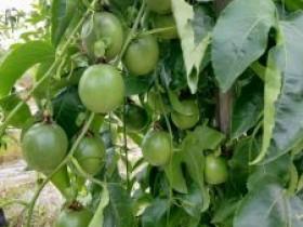 长汀县百香果迎来了丰收季