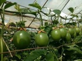 望谟县边饶镇播东村500亩百香果丰收在望