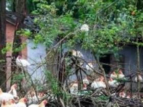 罗定市太平镇洞美村南罗百香鸡入选广东省一村一品项目库