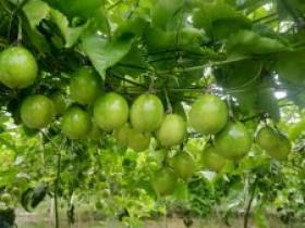 黔西南发展百香果产业助力乡村振兴