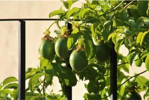 如何种植百香果