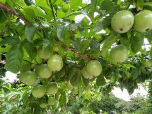 百香果金桔功效与作用的区别