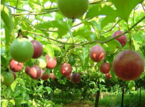 百香果一亩地产多少斤